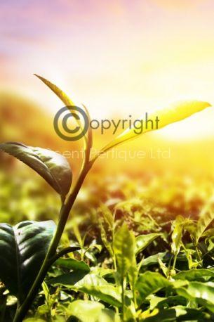 Golden-Leaf-Tea