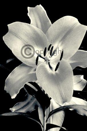 Shanghai Blossom