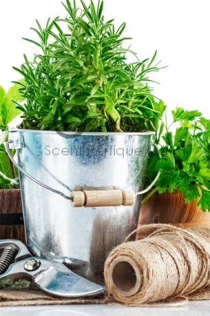 Sorrel & Lemon Thyme Fragrance Oil