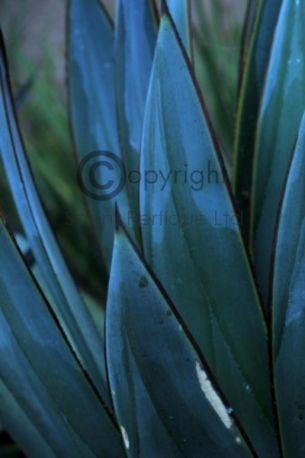 blue agava