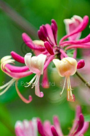 Honeysuckle & Sandalwood Fragrance Oil