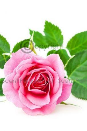 Rose Prick Fragrance Oil