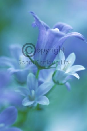 wild bluebell