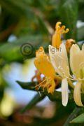 winter-honeysuckle