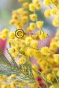 Cardamom-Mimosa