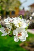 Eastern-pear-blossom