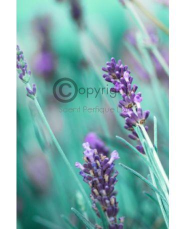 Lavender Leaf