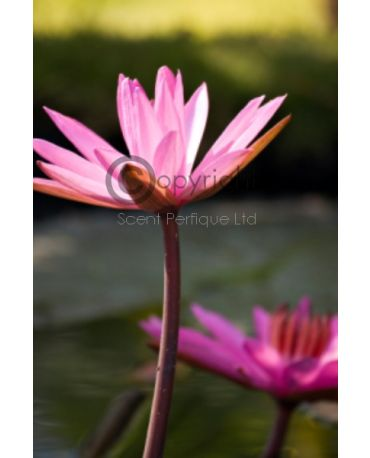 Lotus Blossom & Water Lily