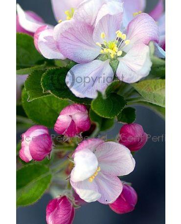 Apple Blossom & Sandalwood Dreamz Fragrance Collection