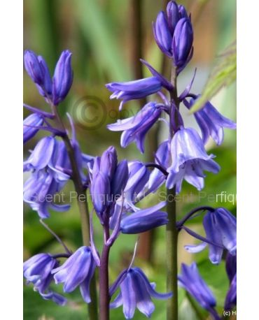 BLUEBELL WOODS FRAGRANCE OIL