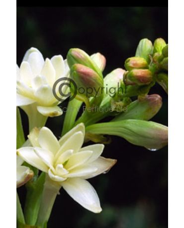 fresh tuberose