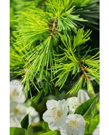 Himalayan Cedar & Jasmine Fragrance Oil