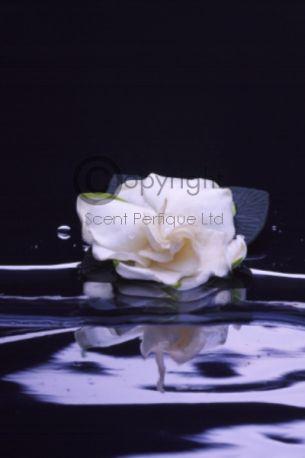 Gardenia Royale