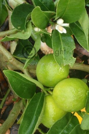 Sweet Lime & Cedar