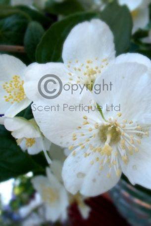 White Jasmine & Mint