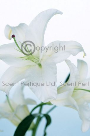 Blanc Fragrance OIl