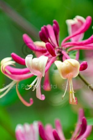 Honeysuckle & Sandalwood Fragrance Oil