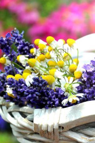 Lavender & Chamomile
