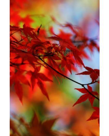 autumn Bergamot