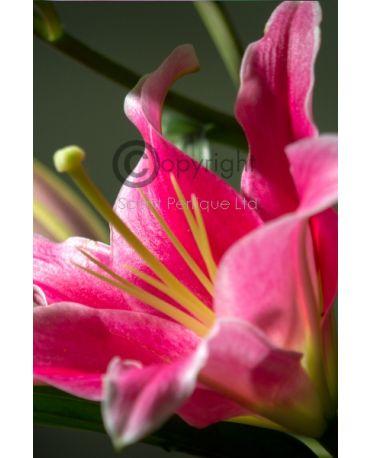 oriental fresh lily