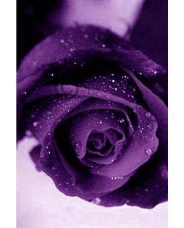 rose & violet