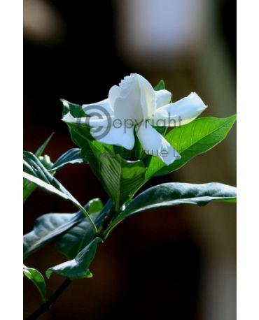 Vintage Gardenia Fragrance Oil