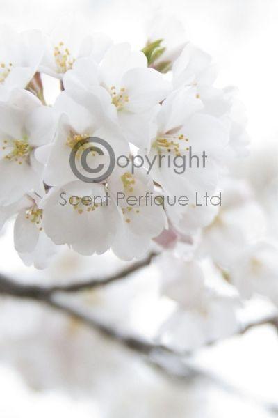 White flowers fragrance oil mightylinksfo
